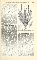 Manual of the grasses of the United States (Page 155) BHL42020794.jpg