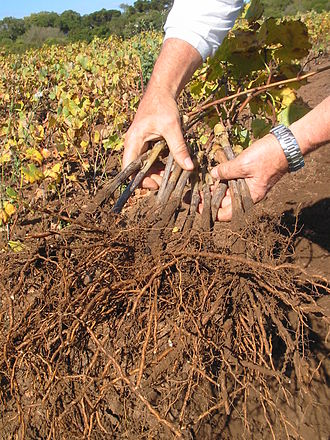 Phylloxera - A collection of vines with grafted rootstocks