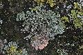 Marchandiomyces aurantiacus on Physica sp. (39675321322).jpg