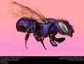 Mason Bee or Blueberry Bee (Megachilidae, Osmia sp.) (33191836342).jpg