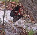 Mating Monarch Butterflies Kerala.jpg