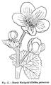 Medicinal Herbs Poisonous Plants-067a-27.png