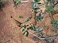 Melaleuca cordata closeup of leaves and flower buds.jpg