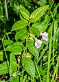 Melittis melissophyllum in Causse Comtal (1).jpg