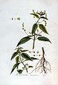 Mercurialis annua — Flora Batava — Volume v3.jpg