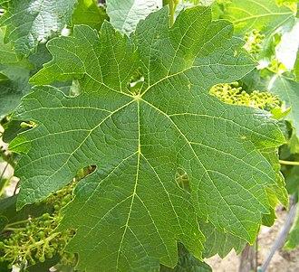 Merlot - Merlot leaf