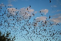 Mexican free-tailed bats exiting Bracken Bat Cave (8006833815).jpg