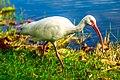Miami - Fairchild Tropical Botanic Garden - White Ibis (Eudocimus albus) (12260333536).jpg