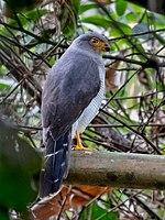 Micrastur mintoni - Cryptic Forest Falcon; Parauapebas, Pará, Brazil.jpg