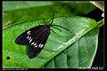 Milleria formosana contradicta (5727087084).jpg