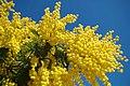 Mimosa - Le Muy.jpg