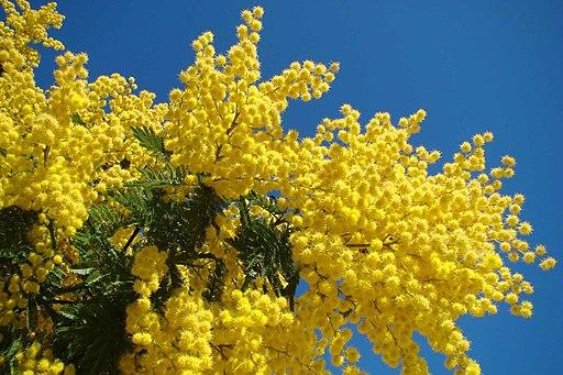 Mimosa - Le Muy