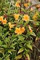 Mimulus aurantiacus - Malcom Manners.jpg