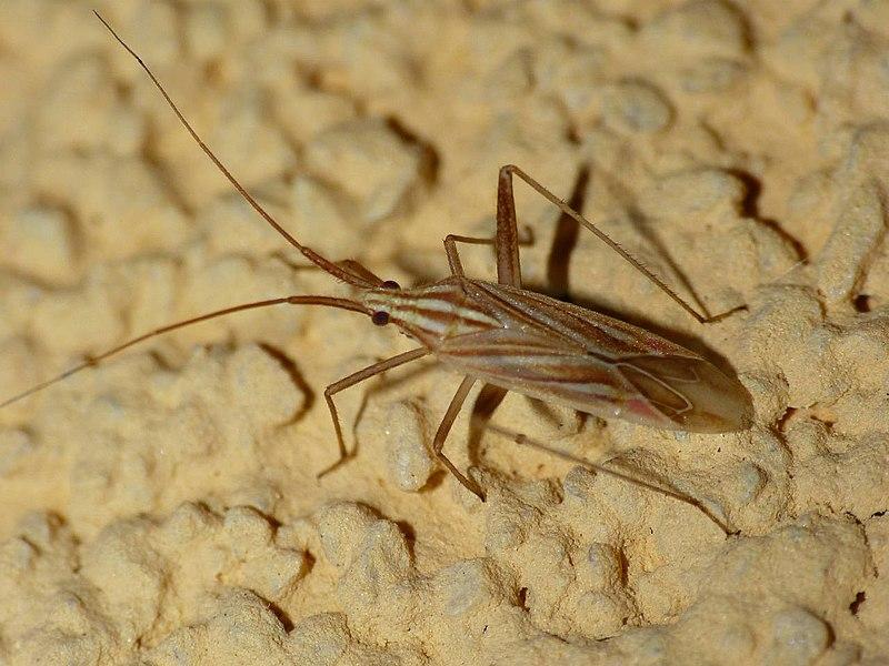 Miridius quadrivirgatus