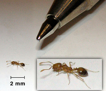 English: Compared size of a pharaoh ant