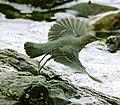 Monticola solitarius philippensis (female in flight).jpg