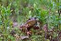 Moor frog in Sarek National Park (DSCF2803).jpg