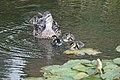 More Baby Ducks (48369446491).jpg