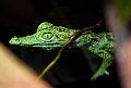 Morelet's Crocodile Baby (5382160938).jpg