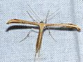 Morning-glory Plume Moth (Emmelina monodactyla) - Flickr - berniedup.jpg