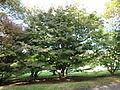 Morris Arboretum Cornus kousa-1.jpg