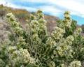 Mortonia utahensis 2.jpg