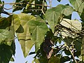 Mothi Pahadvel (Marathi- मोठी पहाडवेल) (4450244537).jpg