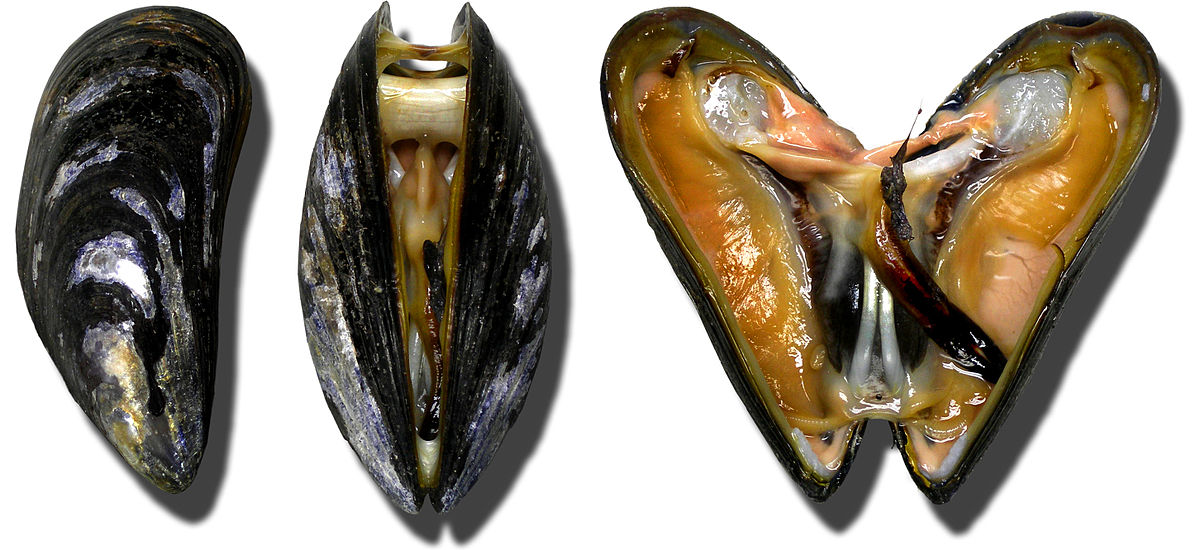 the feasibility of mussel shells bivalvia