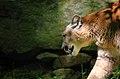 Mountain-cat-cougar-wildlife 13 - West Virginia - ForestWander.jpg