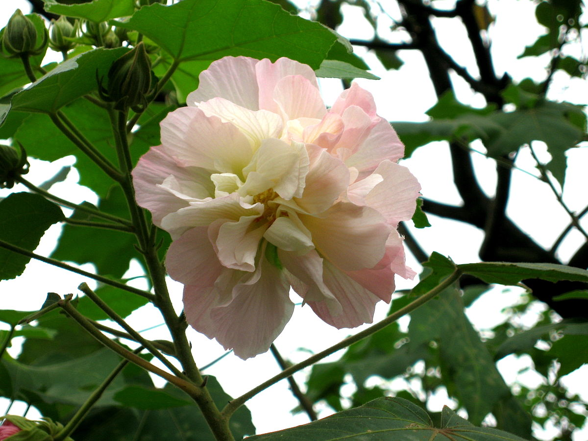 Hibiscus mutabilis wikipedia for Hibiscus arbol