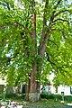 Muhlhausen's chestnut-tree2.jpg