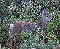 Mule Deer 2 (7979506987).jpg