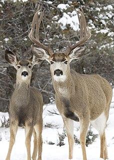 Mule deer species of deer