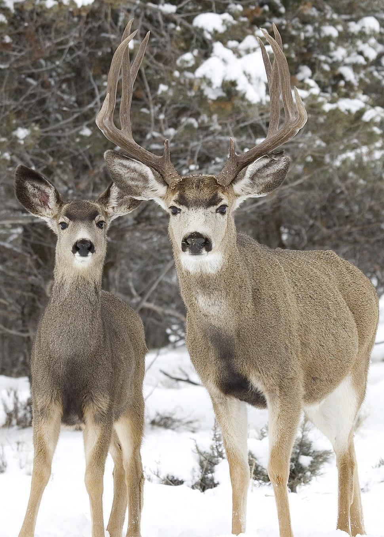 Mule buck doe elk creek r myatt (5489811074)