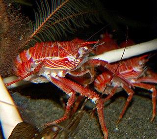 <i>Munida</i> genus of crustaceans