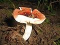 Mushroom (2788521428).jpg