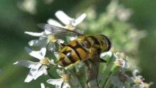 File:Myathropa florea.ogv