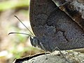 Mycalesis perseus of Kadavoor.jpg