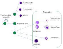 Un fumetto che mostra le relazioni tra una cellula staminale e globuli bianchi maturi.  Otto diversi tipi di globuli bianchi possono derivare dalla stessa cellula staminale.