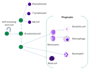 A cartoon showing the relationships between a stem cell and mature white blood cells. Eight different types of white blood cell can derive from the same stem cell.