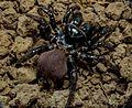 Mygalomorphae Actinopodidae Missulena bradleyi Eastern Mouse Spider The Gap Brisbane 012.jpg