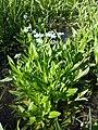 Myosotis scorpioides (subsp. scorpioides) sl34.jpg