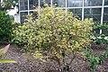 Myrciaria cauliflora 29zz.jpg