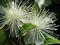 Myrtenblüte (Myrtus communis).JPG