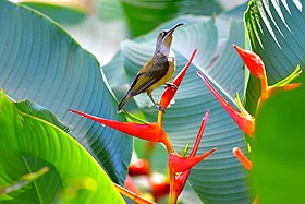 Naked-faced spiderhunter, Philippines.jpg