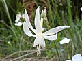 Narcissus in Parque Natural de Montesinho Porto Furado trail (5733139496).jpg