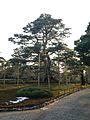 Neagarinomatsu Pine Tree in Kenroku Garden.jpg