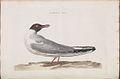 Nederlandsche vogelen (KB) - Chroicocephalus ridibundus (152d).jpg