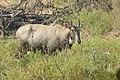 Neelgai Boselaphus tragocamelus by Dr. Raju Kasambe DSCN7671 (6).jpg