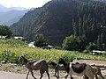 Neelum Valley Road, animals allowed.jpg